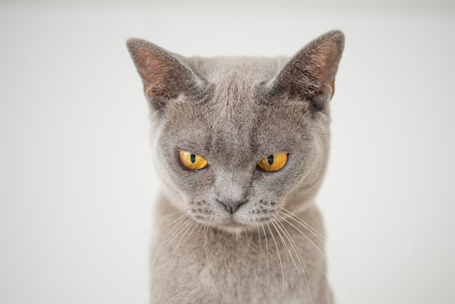 closeup-photo-of-gray-cat-1331821.jpg