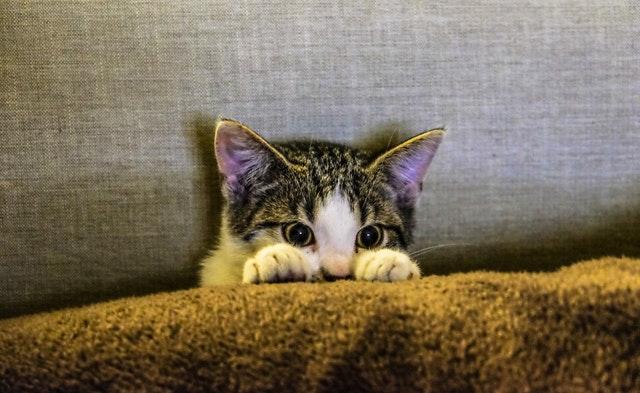 eyes-cat-coach-sofa-96938.jpg