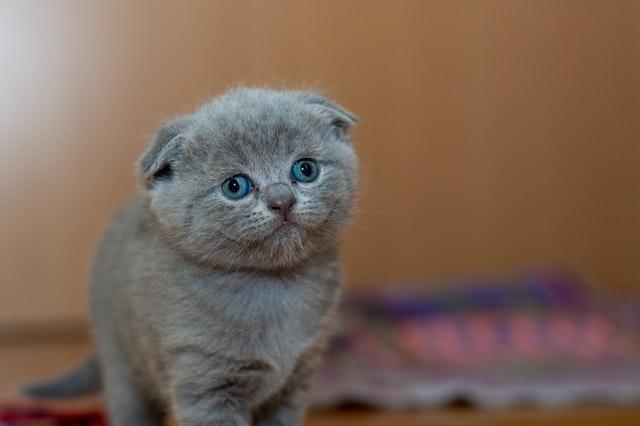 grey-fur-kitten-127028_1.jpg