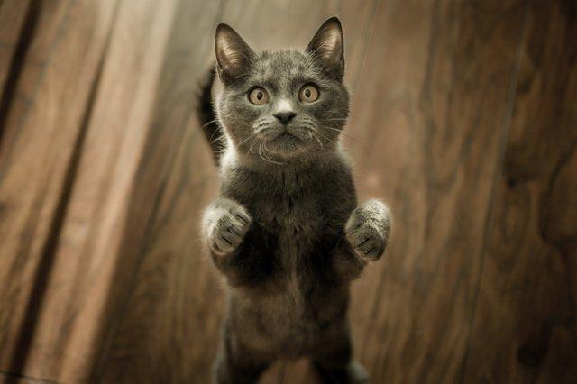 grey-kitten-on-floor-774731.jpg
