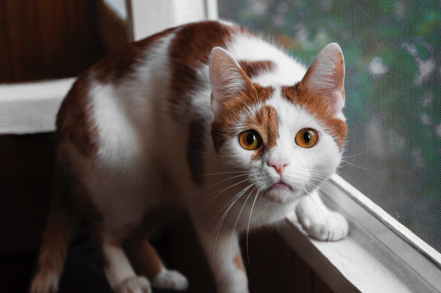 orange-and-white-cat-on-window-1499344.jpg