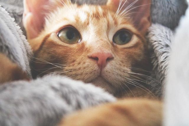 orange-kitten-1440403_1.jpg
