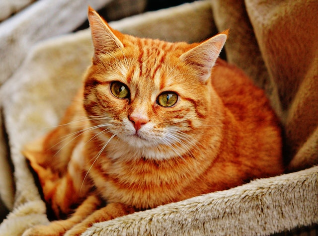 orange-tabby-cat-laying-on-brown-sofa-33492.jpg
