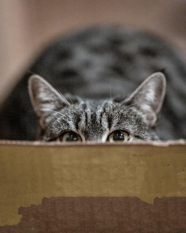 peeping-gray-cat-3389528.jpg