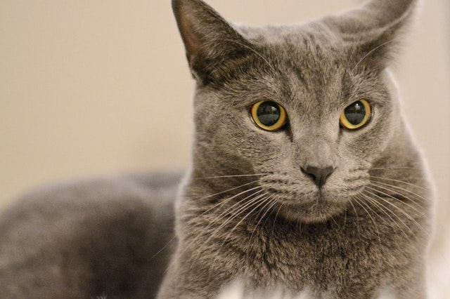 selective-focus-close-up-photo-of-chartreux-cat-lying-down-2612950.jpg