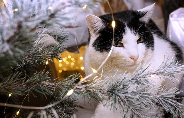 white-and-black-cat-beside-christmas-tree-with-string-lights-1645768.jpg