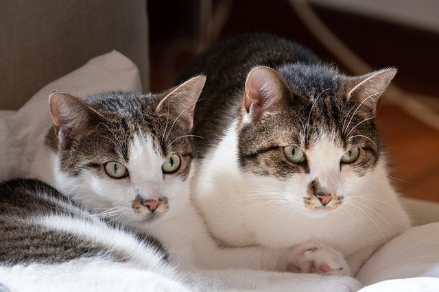 white-and-black-cat-lying-on-white-textile-3967431.jpg