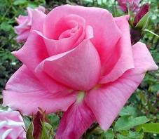 egy szal rozsa.jpg