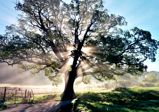 _albero_raggiante1_535.jpg