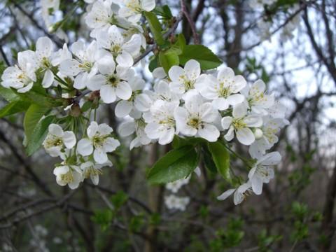virágzó fa.jpg