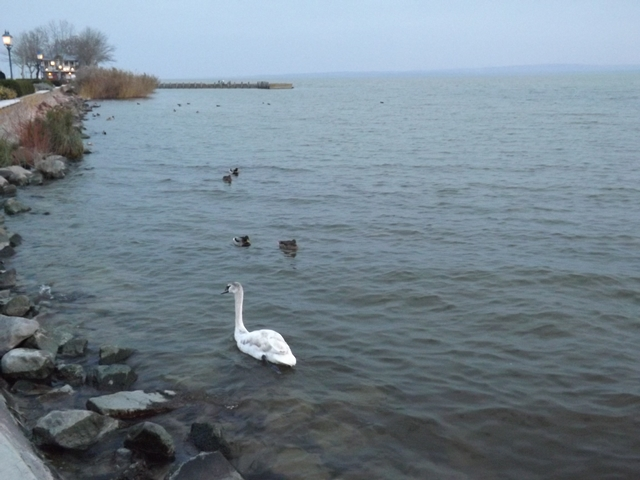 a part körül, hattyúk és kacsák 'koldultak' a sétáló pároktól egy kis elemózsiát.....