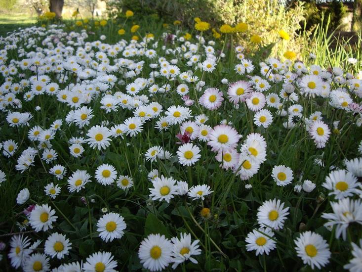 Még mindig teli vannak a kertek százszorszépekkel, imádom őket!