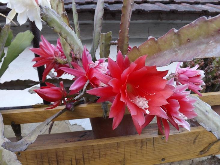 és megint kifogtam a kaktusz virágzást...
