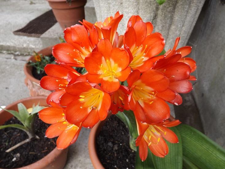 ez a fotó itthon készült, a végére szerettem volna tenni, de minden próbálkozásnál ide keveredett, pompás kafferliliomnak hívják (klívia)