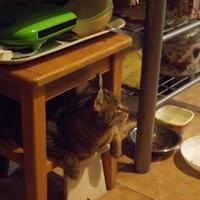 Macska télire