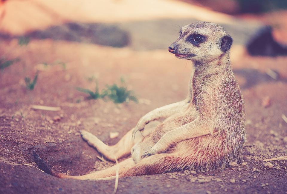 meerkat-459171_960_720.jpg