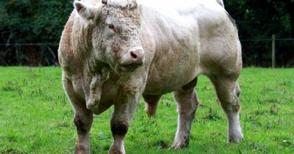 Élő bikát szerepeltetnek egy operaelőadásban - Tiltakoznak az állatvédők