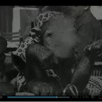 Szivart pöfékelve kavargatja kávéját a csimpánz