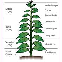 A Dohány Növény Részeinek Elnevezése