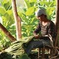 Volt idő amikor 1300 szivargyár volt Havannában