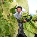 A dohánytermesztési ágazat jelenleg is mintegy 20 ezer család megélhetését biztosítja Magyarországon