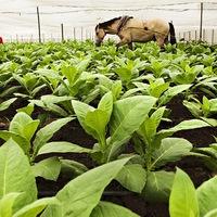 Dohánytermesztés Kubában