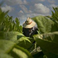 Dohánytermesztés egy kubai farmon