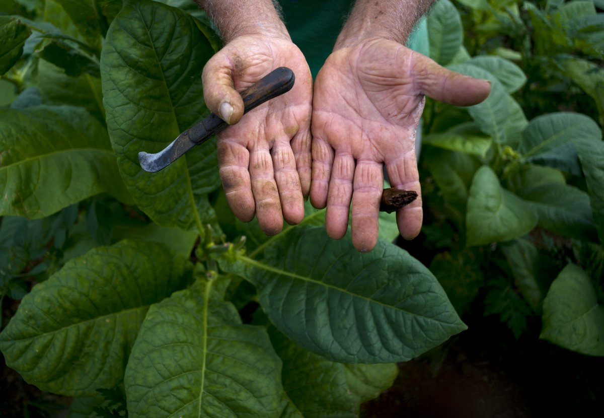 tobacco-farmer-raul-valdes-villasusa-shows-his-hands-calloused-from-years-of-hard-work.jpg