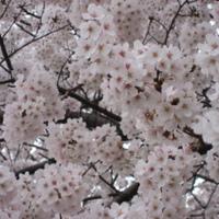Sakura, sakura...