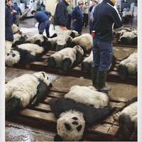 Pandagyilkos halászok