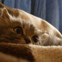 A válság hatása a macskaeledelre