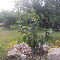 Gyümölcsfák oltása - Oltáskönyv helyett