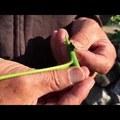 Gyümölcsfák oltása - diófa