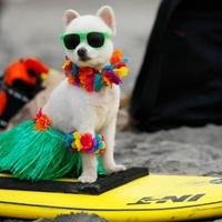 Hódít a kutyaszörf