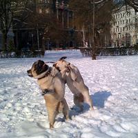 Mopsz-pankráció a hóban