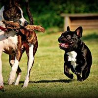 A francia bulldog beizgul