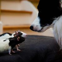 A border collie és a patkányok