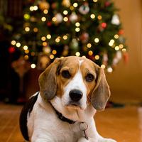 Karácsonyi beagle