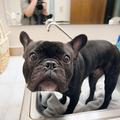 A francia bulldog fél a fürdéstől