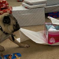Ajándék-csomagolás rosszcsont mopsszal
