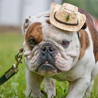 Angol bulldog kalapban