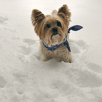 Yorkie a hóban