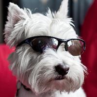 Westie napszemüvegben