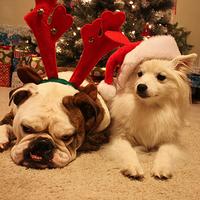 Kidőlt a bulldog a Karácsonytól