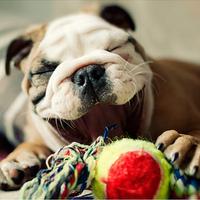 Nevető angol bulldog kölyök