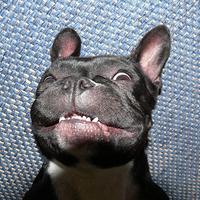 Francia bulldog mosoly