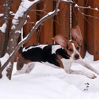 A beagle nyúlnak álcázza magát