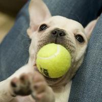Francia bulldog teniszfenomén