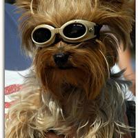 Napszemüveg kutyáknak