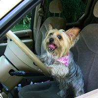 A yorki vezetni tanul